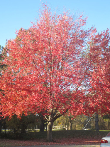Gleaners Red Tree