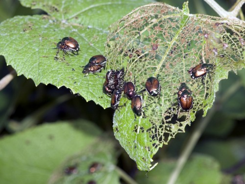 Surge in Japanese Beetles to Dissipate