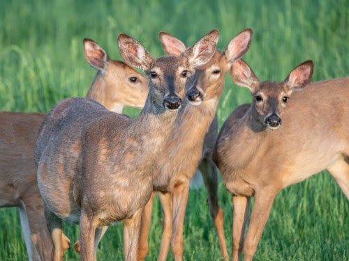 """Chowline: CDC says Avoid """"zombie"""" deer meat"""