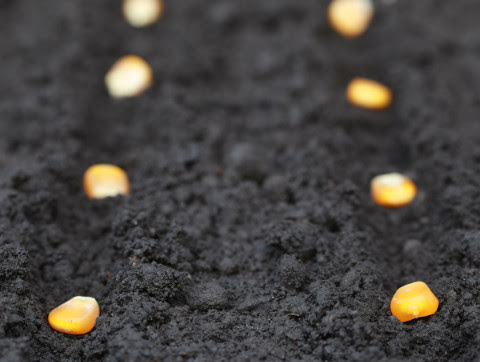 Late start on planting may not hurt yields much