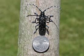 Asian Longhorned Beetle and Sudden Oak Death Updates