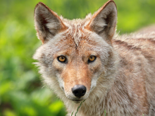 Warning: Coyotes could be watching you