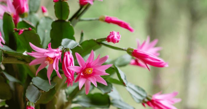 Easter Cactus: Tips For Growing And Getting Beautiful Spring Blooms